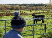 A bullock watches the walkers go by during the Shades Of Autumn 10k walk in aid of the RNLI on bank Holiday Monday at Shragh. Photograph by John Kelly.