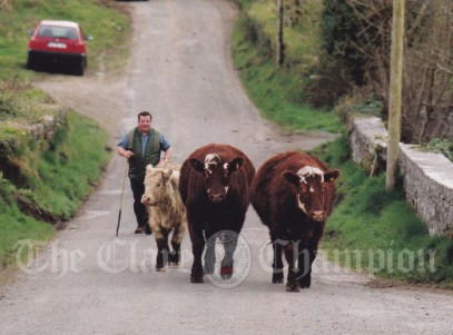 Paddy Fitzgerald, Clifden, bring in the cattle near the Mill Stream, Corofin this week. Photograph by Eamon Ward