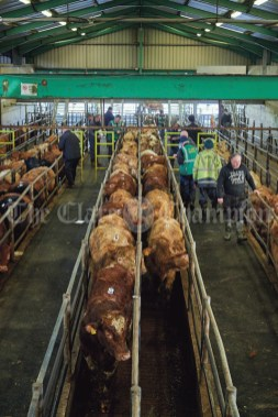 Cattle are sorted for sale after arriving at Clare Mart in Ennis. Photograph by John Kelly