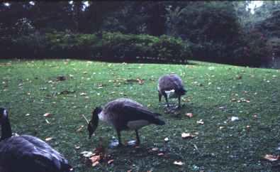 Geese copy