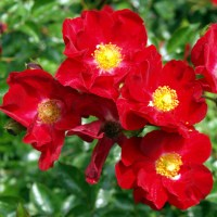 Scarlet Flower Carpet Rose