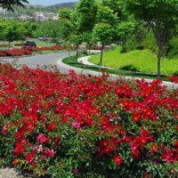 scarlet flower carpet rose