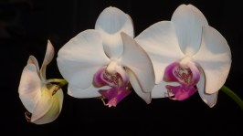 Orchids I grew.
