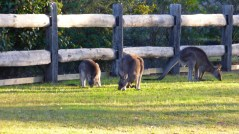 The Kangaroo Family (July 13, 2015)