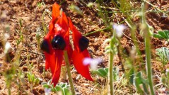 Sturt's Desert Pea (October 12, 2015)