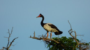 A male Magpie Goose