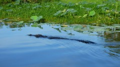 The second salt water crocodile we saw