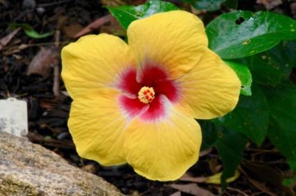 Lovely Yellow Hibiscus