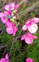 Diascia integerrima.  Clarens Village Nature Reserve