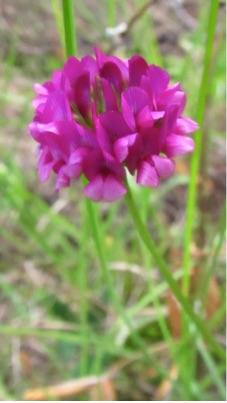 Trifolium burchelianum