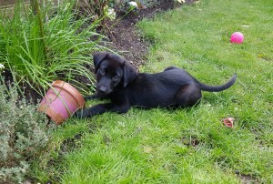 Labrador puppy in the garden