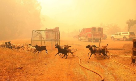 Californians deploy goats to help prevent wildfires