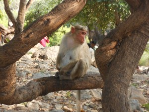 monkey in a tree in india