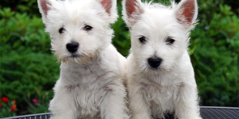Puppy-buying scams on the internet