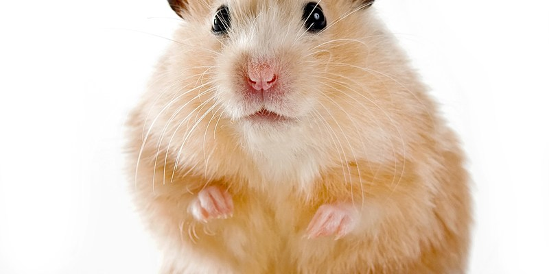Girl gets pet hamster after her letter to Petco ends up at power company Pepco