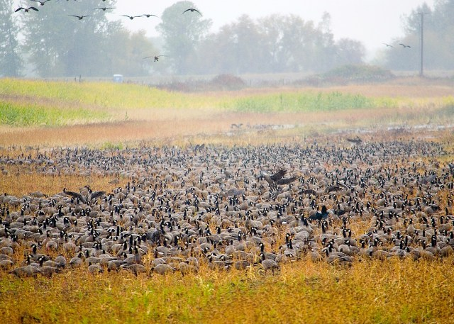 Suave Island Geese Migration