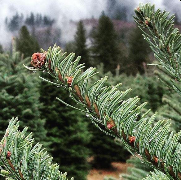 u cut christmas tree