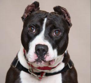 Humane Society of Southwest Washington Featured Pet Spudnick