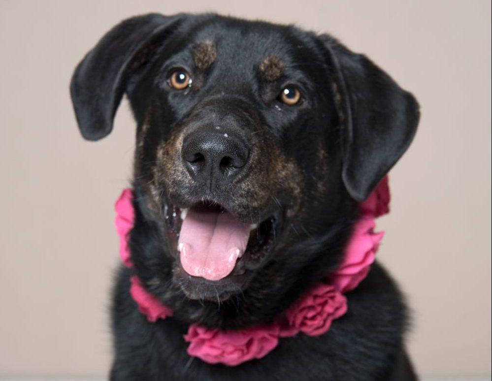 Humane Society for Southwest Washington Pet of the Week Dahlia