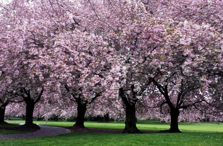 Clark College Sakura Festival cherry trees in bloom