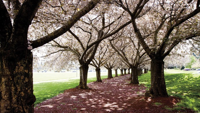 Clark College Sakura Festival cherry trees