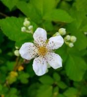 WashougalRiverGreenwayTrailBlackberryBlossom
