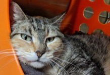 Humane Society for Southwest Washington Pet of the week Trina