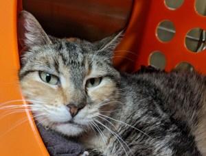 Humane Society for Southwest Washington Pet of the week Trina