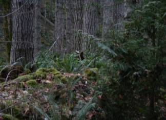 Places to Look for Sasquatch in Clark County Is this Sasquatch Via Douglas Scott