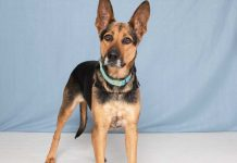Humane Society for Southwest Washington Pets of the Week Breena