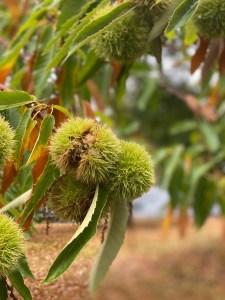 Ridgefield-Allen-Creek-Farm-Chestnuts-beginning-to-hatch