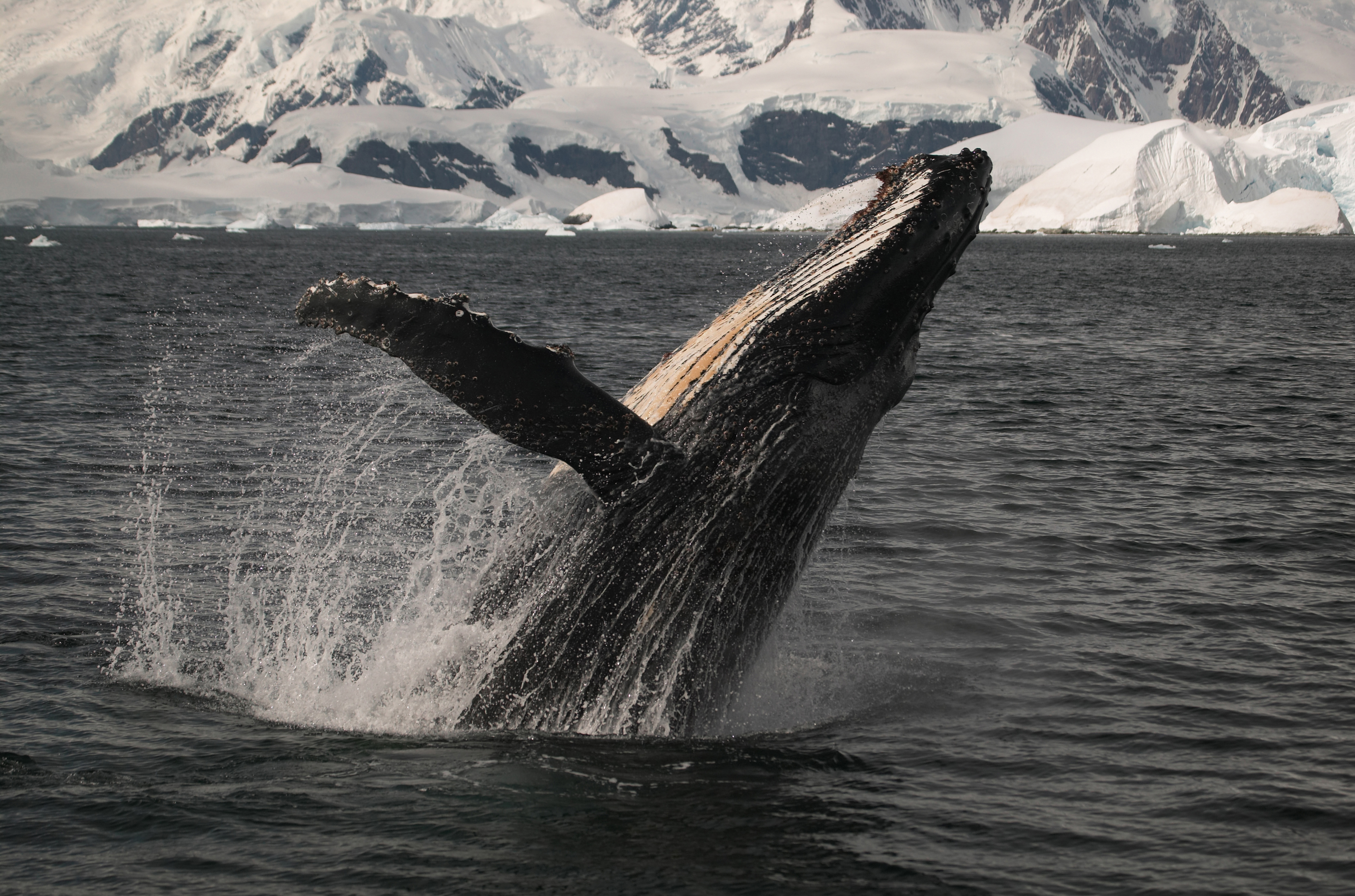 "A humpback whale breaches the surface of the ocean in a scene from Disneynature's ""Earth."""