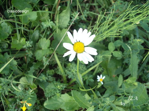 floare imperfecta