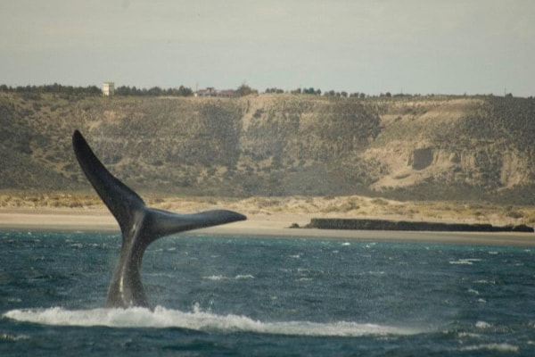 Peninsula Valdes whales