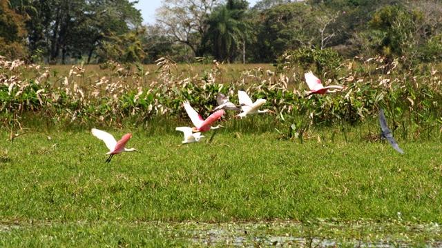 Cano Negro Birds, Costa Rica
