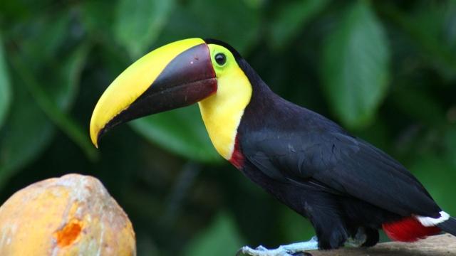 Toucan Costa Rica