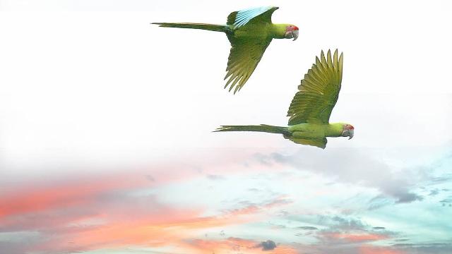 Parrot, Osa Peninsula