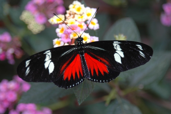 Poas Volcano butterfly
