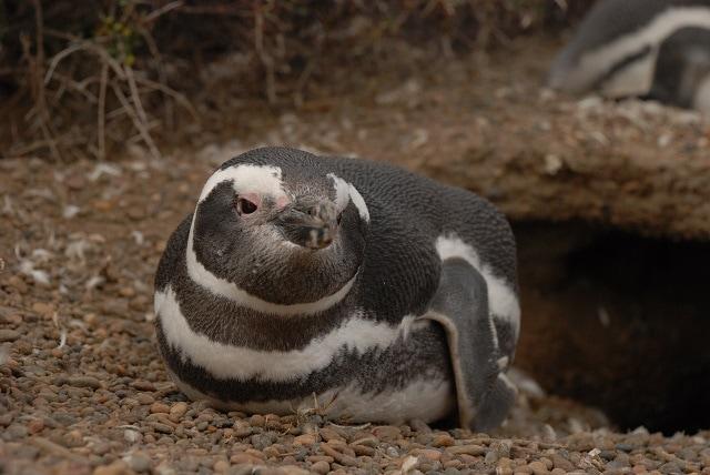 Peninsula Valdes penguin