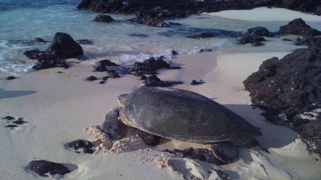 Green turtle in Tortuguero