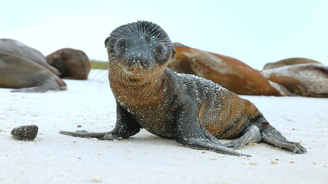 Sea Lion Pup on the Galapagos Islands