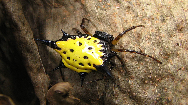 Spiny-Backed Orbweaver Spider