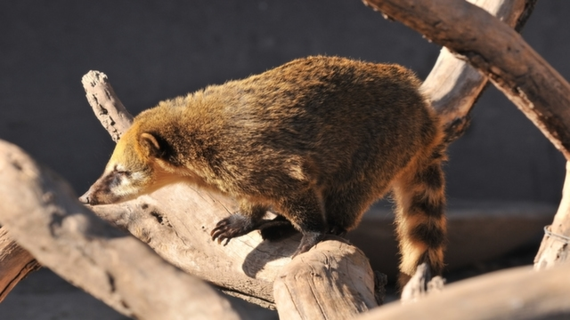 Coati at Iguazu Falls