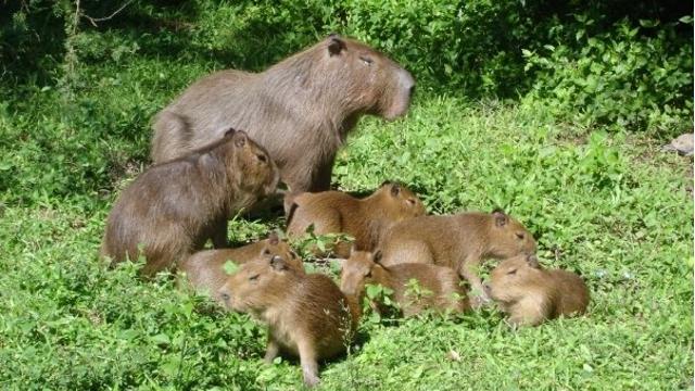 Capybaras at Esteros del Ibera