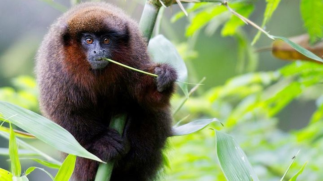 Monkey in the Peruvian Amazon