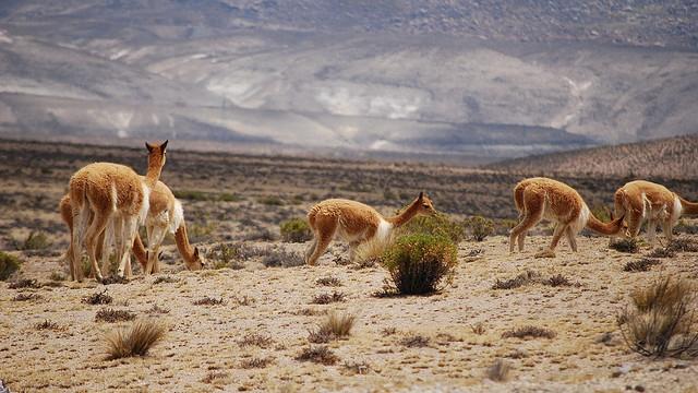 Vicuña roaming the Peruvian Andes