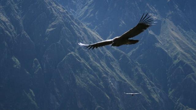 Andean Condor at the Colca Canyon