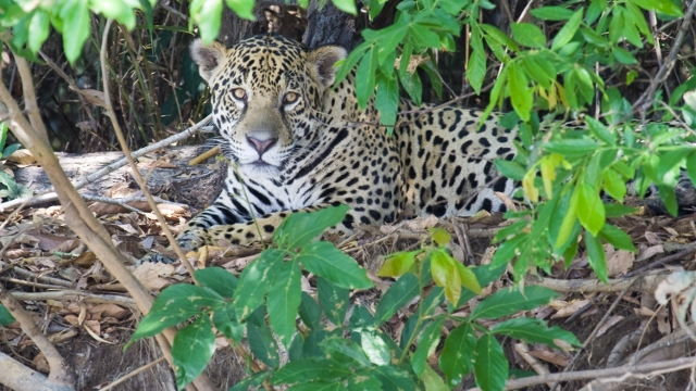 Jaguar in the Amazon in Peru