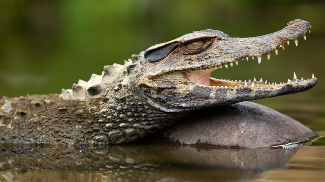 Caiman in the Peruvian Amazon