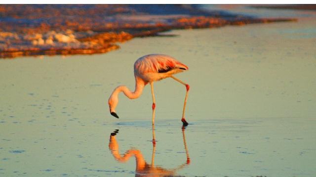 Flamingo in the Atacama Desert